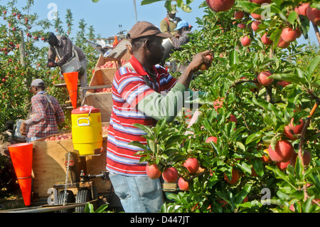 Migrant workers pick apples in orchard - Stock Photo