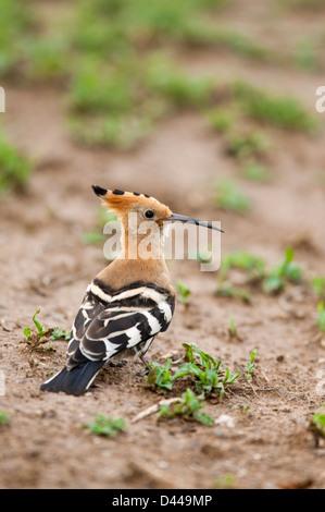 African Hoopoe Upupa africana Beautiful but strange looking bird with long crest and beak
