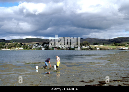two fishermen dig for clams in Bodega Bay on Tomales Bay California - Stock Photo