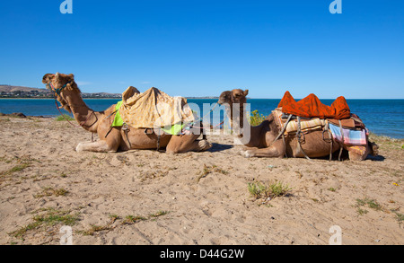 A pair of camels resting on the sand at Victor Harbor near Granite Island in South Australia - Stock Photo
