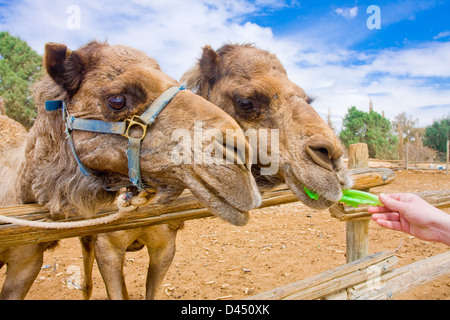Closeup on couple of camels feeding with salad. - Stock Photo