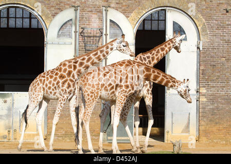 London, UK. 5th March 2013. A  Giraffes enjoying the sunshine in London Zoo as the Met office has predicted the - Stock Photo