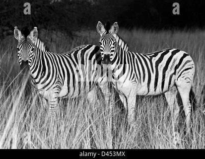 Two Plains Zebras stand in grassland, Phinda Game Reserve, South Africa - Stock Photo