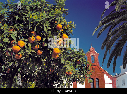 Oranges on the tree in front of the church of San Roque in the hill village of Torrox, near Nerja, Malaga, Andalusia, - Stock Photo