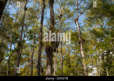 Canopy of a cypress dome in the Big Cypress Swamp of Florida - Stock Photo