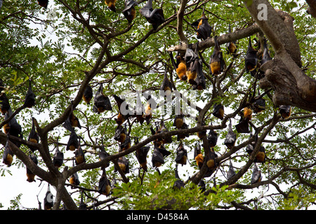 HUNDREDS OF FLYING FOXES ROOSTING ON TREE BRANCHES DURING DAYLIGHT HOURS SOUTHERN SRI LANKA - Stock Photo