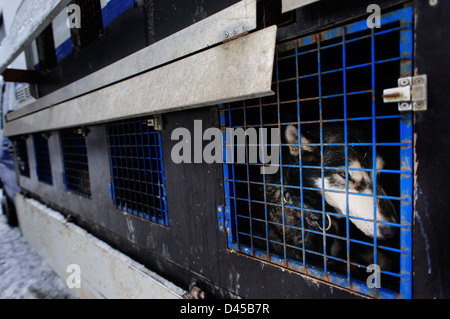 A husky sled dog kept in a cage before racing. Jakuszyce, Poland. - Stock Photo