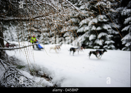 A sled dog team racing at the Husqvarna Tour Border Rush competition in Jakuszyce, Poland. - Stock Photo