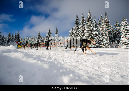 A sled dog team racing in the Izery mountains, Jakuszyce, Poland. - Stock Photo