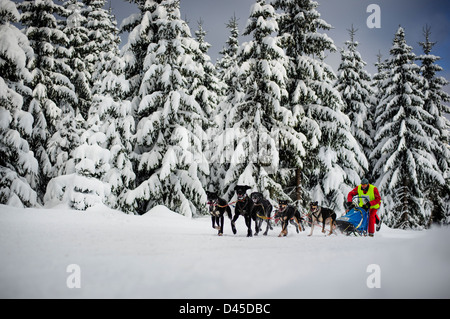 A sled dog participant team racing for the 2013 Border Rush competition in the Izery mountains, Poland. - Stock Photo