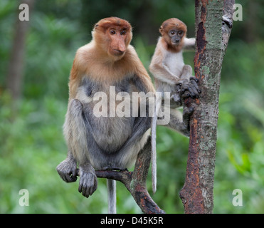 Proboscis Monkey mother and 6-8 week old baby (Nasalis larvatus) perched in tree while watching other monkeys - Stock Photo