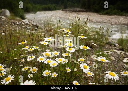 Oxeye daisies (Chrysanthemum leucanthemum) growing on the banks of Silverhope Creek, Silver Lake Provincial Park, - Stock Photo