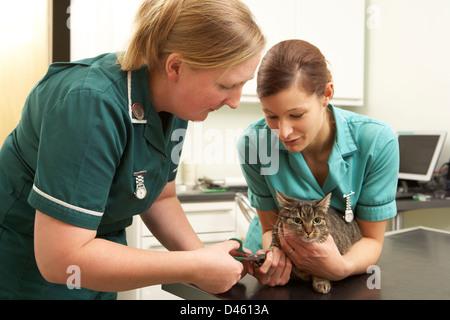 Female Veterinary Surgeon And Nurse Examining Cat In Surgery - Stock Photo