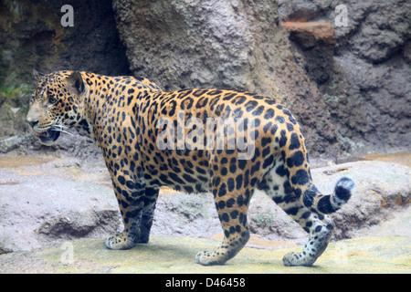 Jaguar, panthera onca, Singapore Zoo, - Stock Photo
