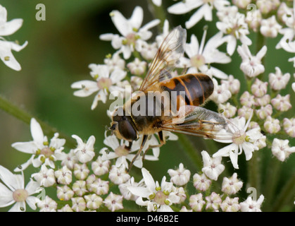 Hoverfly or Drone Fly, Eristalis tenax, Syrphidae, Diptera. Hertfordshire. - Stock Photo