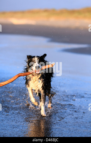 Young border collie dog fetching stick on beach - Stock Photo