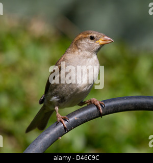 Young House Sparrow, Passer domesticus, standing on a metal arch - Stock Photo