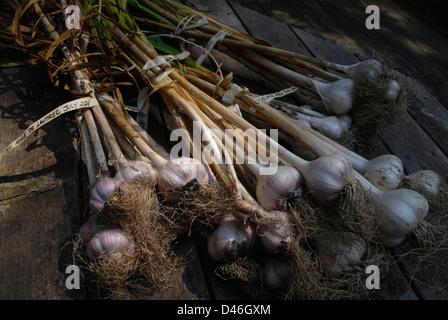 A small crop of various freshly harvested garlic varieties. - Stock Photo