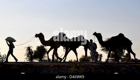 Buyers lead their camels back home from Nagaur cattle fair in western Indian Rajasthan state - Stock Photo