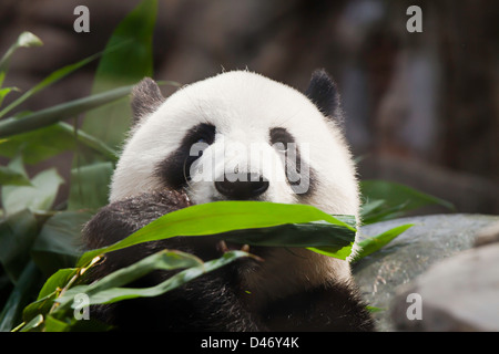 The Giant Panda, Ailuropoda melanoleuca, is a bear native to central-western and south western China. - Stock Photo
