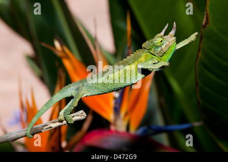 A male Jackson's Chameleon, Chamaeleo jacksoni, Maui, Hawaii. This species is native to Eastern Africa. - Stock Photo