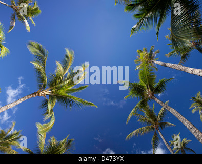 A view from below of palm trees and blue sky, Maui, Hawaii. - Stock Photo