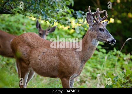 The mule deer or black-tailed deer, Odocoileus hemionus, British Columbia, Canada. - Stock Photo
