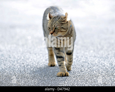 A beautiful gray tabby Highlander Lynx cat walking, his expression shows anger.