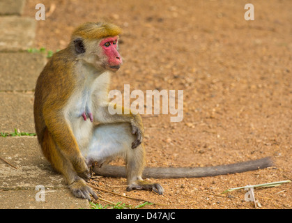 TOQUE MONKEY (Macaca sinica)  INDIGENOUS TO SRI LANKA - Stock Photo