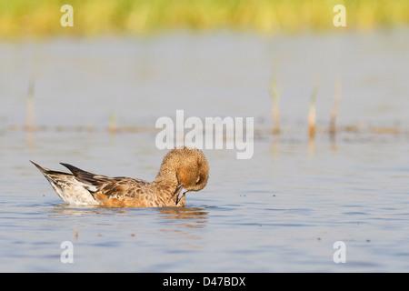 Eurasian Wigeon (Anas penelope) - Stock Photo