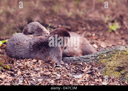 Pair of Wild European Otters Lutra lutra snuggled up on bank of Norfolk River - Stock Photo