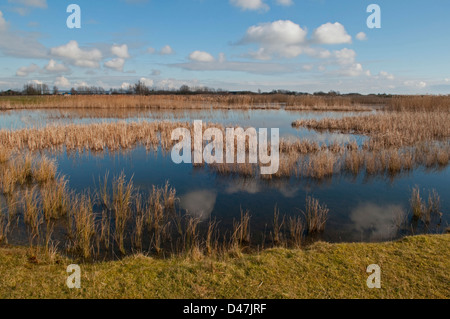 Reedbeds at Rye Harbour Nature reserve, East Sussex, UK - Stock Photo