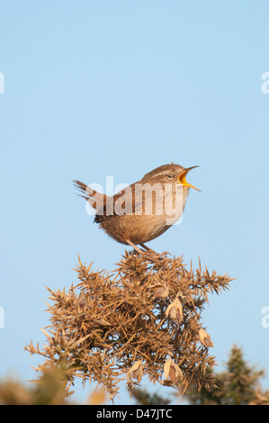 A wren perched on a gorse bush sings loudly while facing the morning sun. Dungeness RSPB, Kent, UK - Stock Photo