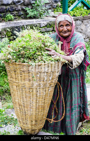 Old Indian lady with basket full of weed. Nagar, Himachal Pradesh, India - Stock Photo