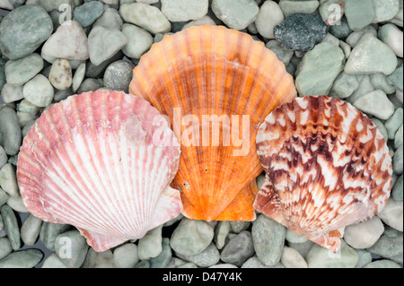 Three clam shells, seashells on a bed of green-colored river rock, a top view, a studio shot. - Stock Photo