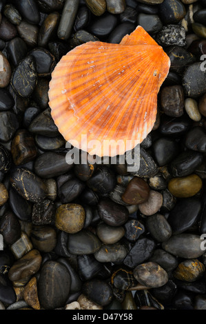 One golden-colored sea shell, a clam shell on a black stone background of smooth river pebbles, a solitary arrangement - Stock Photo