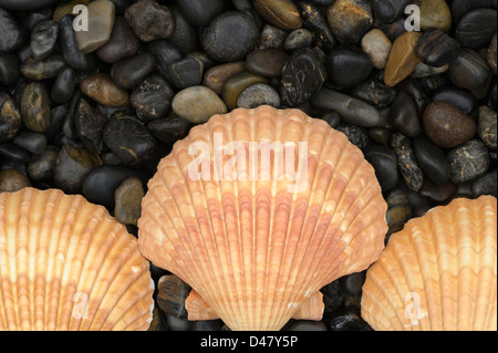 Three golden-colored sea shells, clam shells on a black stone background of smooth river pebbles, symmetrical arrangement - Stock Photo