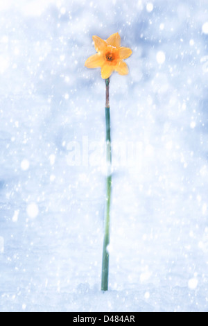daffodil during snow storm - Stock Photo