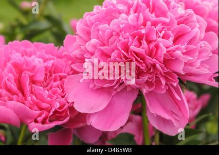 Macro close up view of two beautiful pink Albert Crousse peonies Latin name Paeonia Lactifora in a spring garden. - Stock Photo
