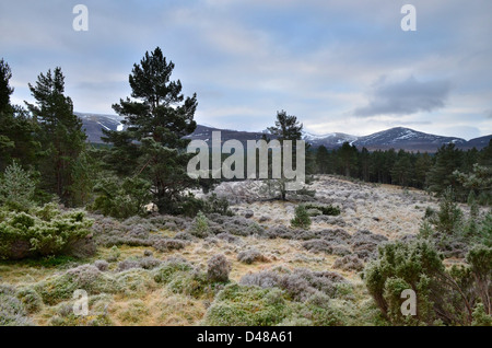 View from the ancient Glenmore Forest near to Aviemore in the Scottish Highlands, UK - Stock Photo