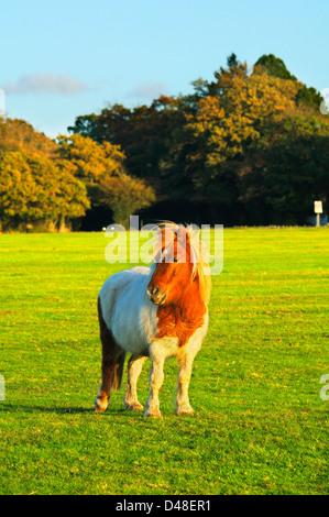 Shetland pony on open grassland in New Forest National Park, Hampshire, England, UK - Stock Photo