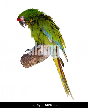Colorful Green Parrot Macaw On White Background - Stock Photo