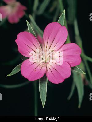 A corncockle, Agrostemma githago, flower of an unusual and attractive farmland corn field plant
