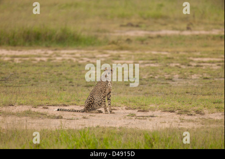 Cheetah (Acinonyx jubatus) sitting out in an open grassland space - Stock Photo