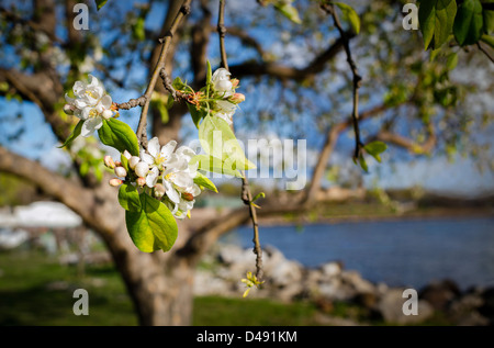 Apple blossoms in bloom on a wild apple tree Malus pumila by Hudson River. Clusters of white flowers and pink buds, - Stock Photo
