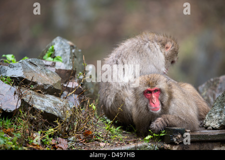A pair of Japanese Snow Monkeys enjoying a rest. - Stock Photo