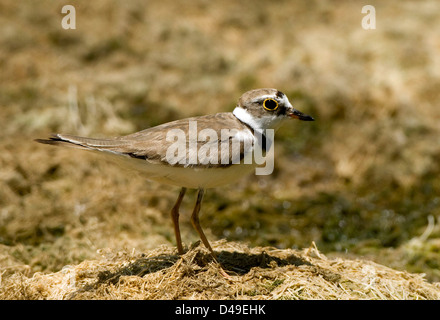 Little Ringed Plover. Charadrius dubius feeding on a dried up river bed in Crete. - Stock Photo