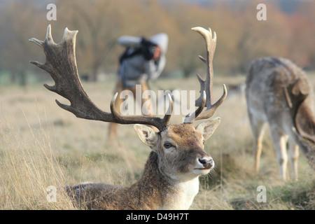 Richmond Park, London, England. Photographer behind fallow deer stag - Stock Photo