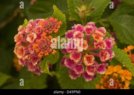 Flowers of Lantana camara, Verbenaceae - Stock Photo