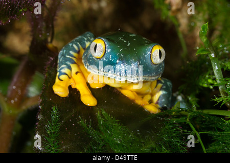The splendid leaf frog (Cruziohyla calcarifer) portrait. Stock Photo